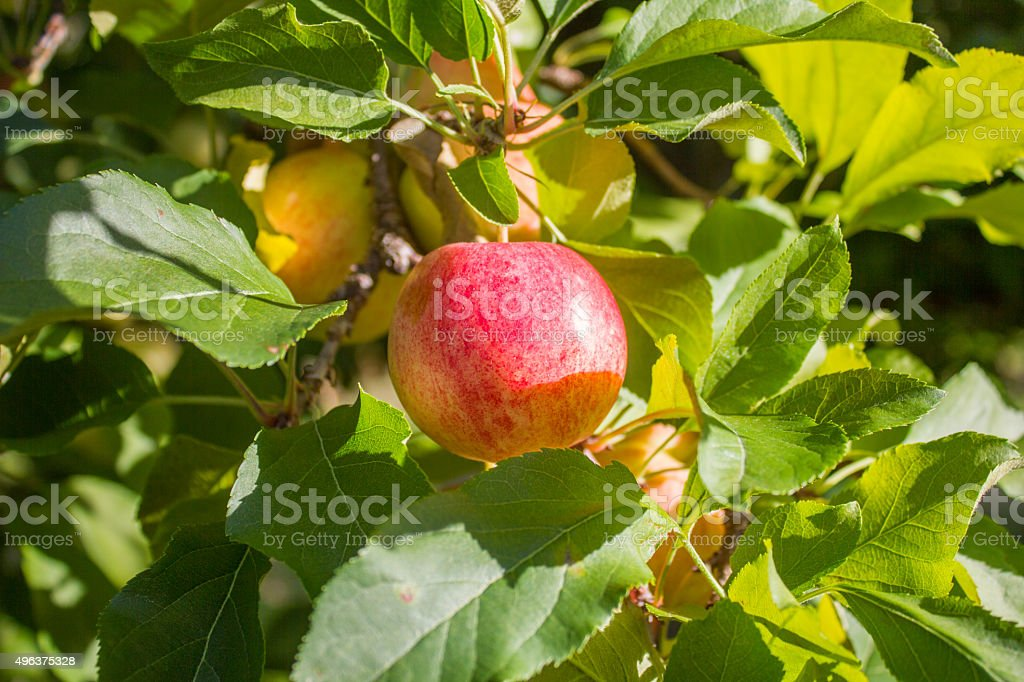 Red Apple in a Tree stock photo