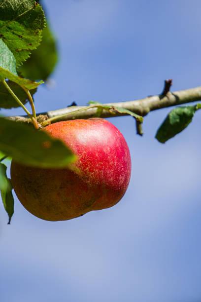 Red apple in a tree with the sky on the background. Selective focus. stock photo