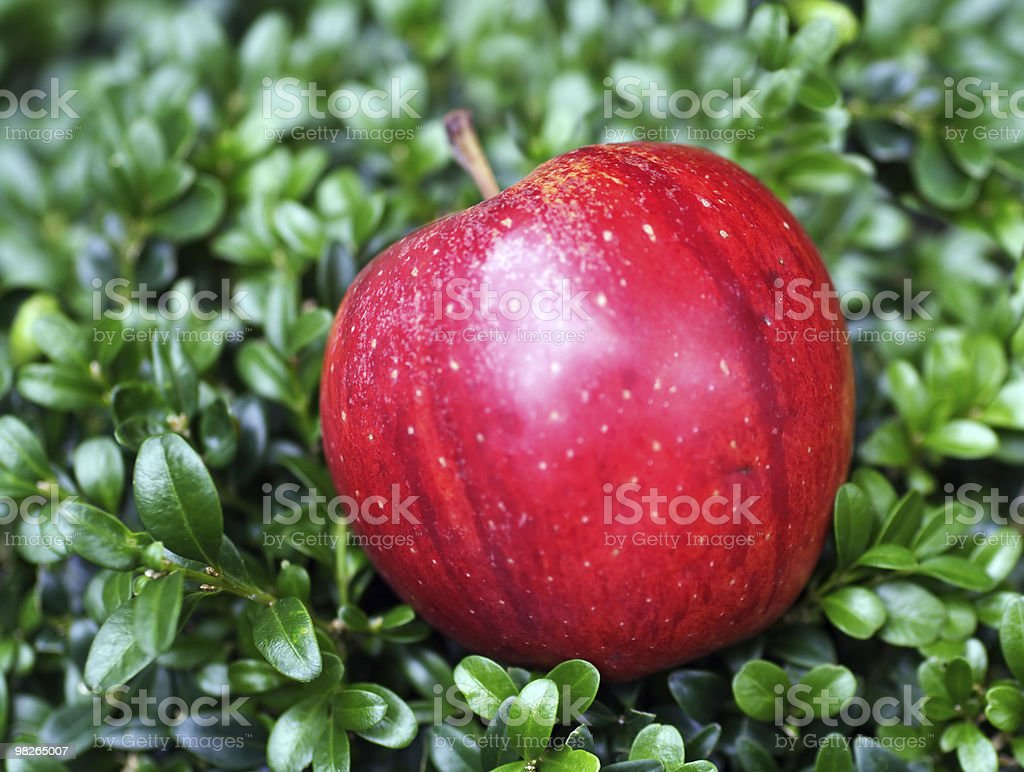 Red apple in box-tree royalty-free stock photo