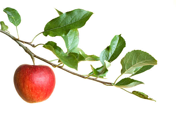 A red apple on a branch of a tree stock photo