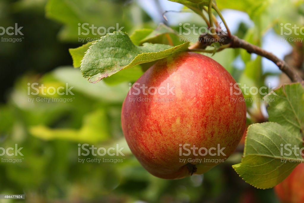 Red apple on a tree stock photo