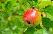Farmer eating apple and touching apple tree in orchard