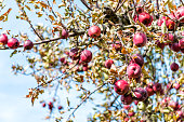 Red apple orchard closeup of fruit hanging on tree in garden in autumn fall, farm countryside in Virginia, isolated against blue sky