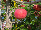 Red apple orchards