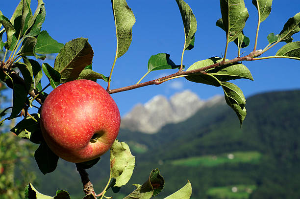 Red apple A red apple in the tree with an alpine background trentino alto adige stock pictures, royalty-free photos & images