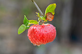Red apple on the branch after the rain