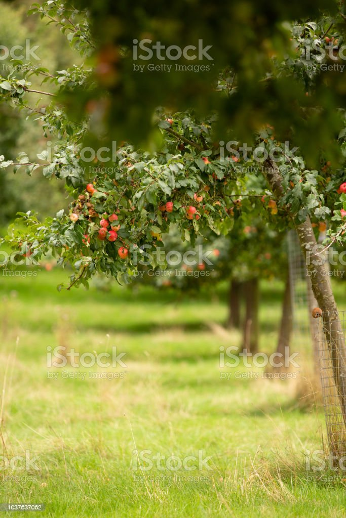 Red apple tree in a Herefordshire Orchard stock photo