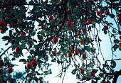 Red apples and green blue leaves on tree branch. Red apple tree on blue background. Agriculture nature floral background. Fall, autumn season food backdrop. Organic apples on tree branch in orchard.