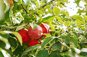 Red apples are hanging on the apple tree branch