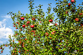 Many red apples hang on an apple tree in the backyard.