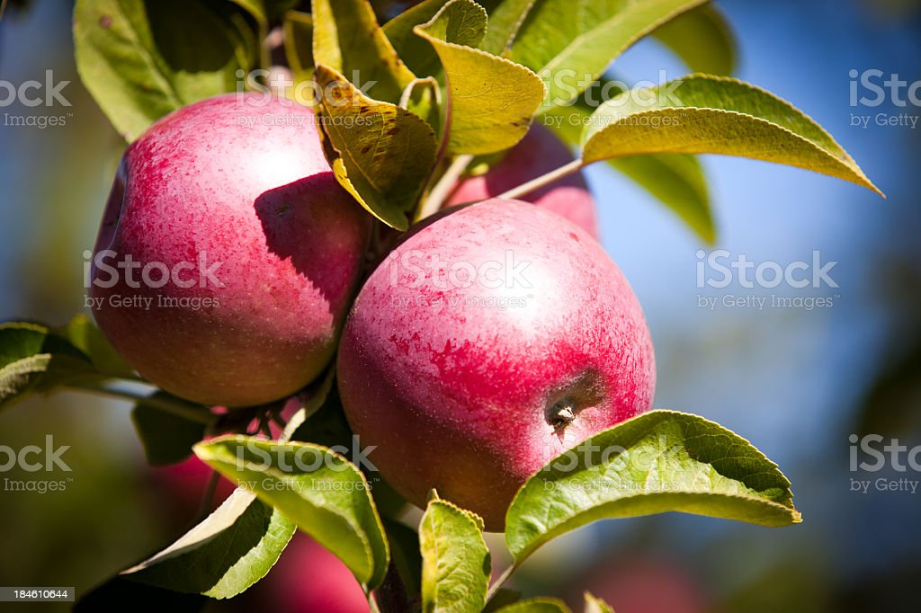 Red Apples Close Up in Orchard royalty-free stock photo