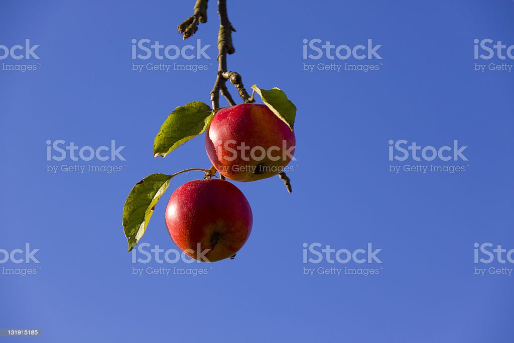 Red apples hanging from tree branch stock photo