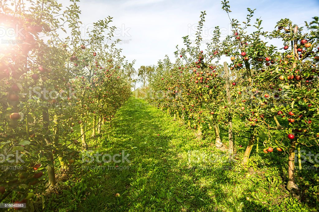 Red apples in a row stock photo