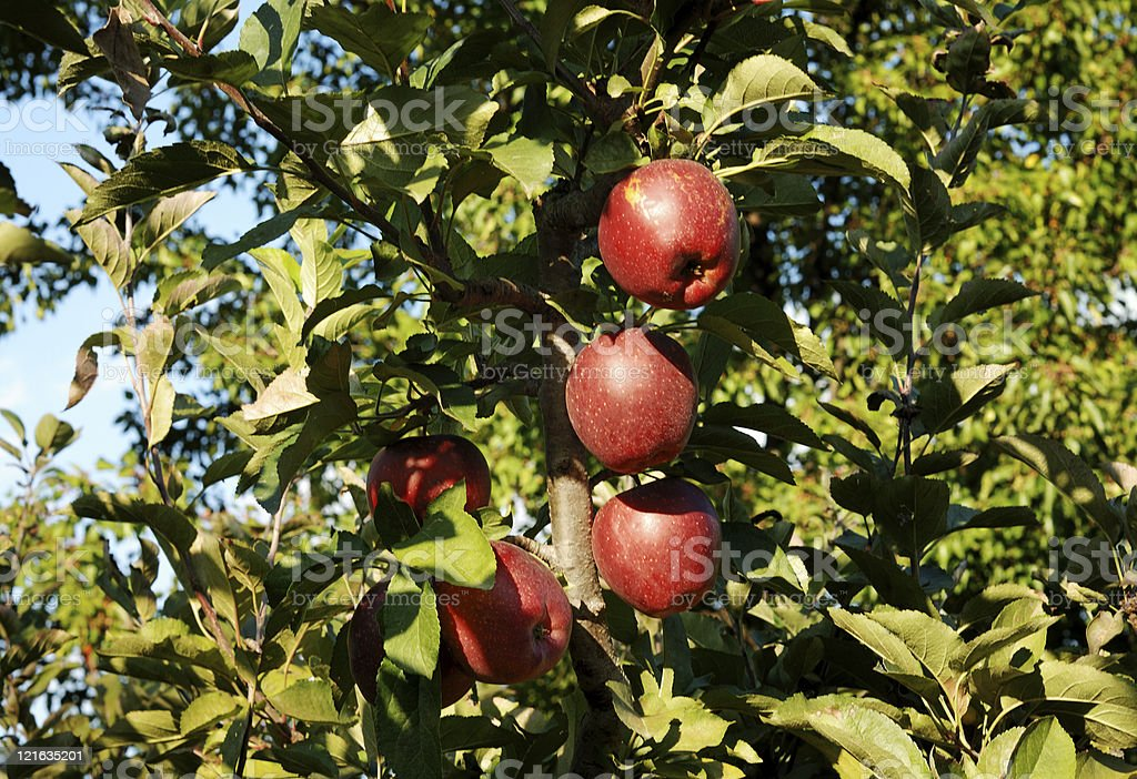 Red apples in a tree stock photo