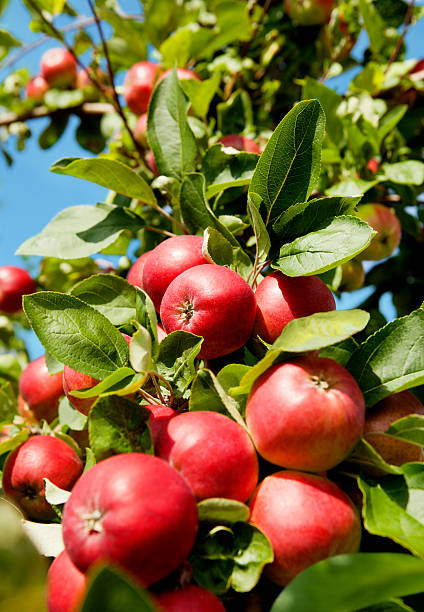 Red Apples in an Orchard stock photo
