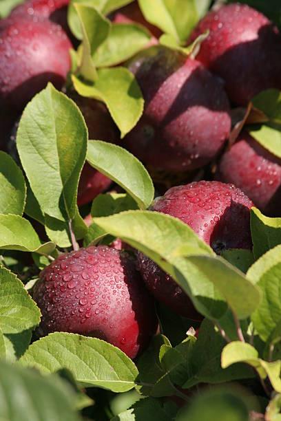 Rote Äpfel in Morgensonne und dew drops – Foto