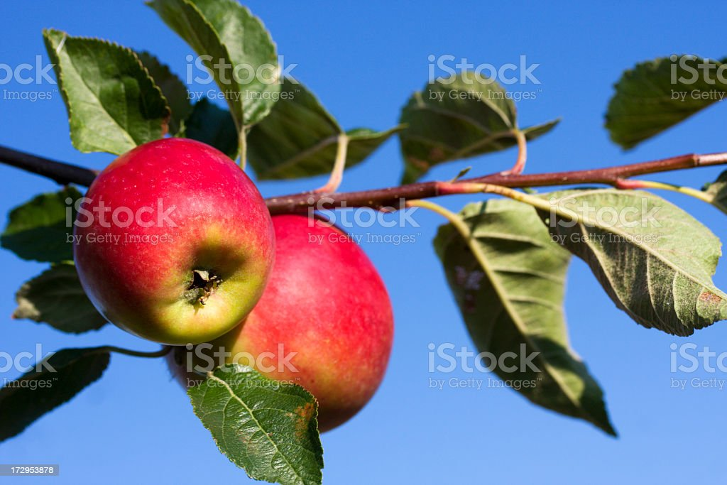 Red apples in the autumn. royalty-free stock photo