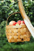 Red apples in the basket on the tree