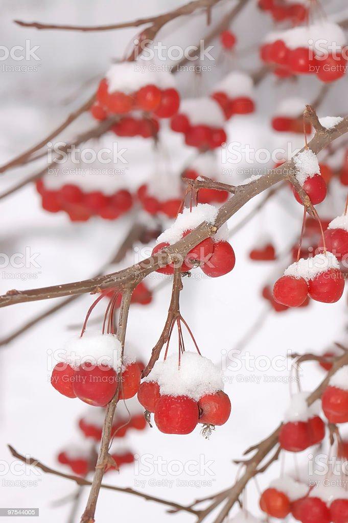 Des pommes rouges dans la neige photo libre de droits