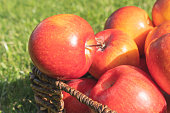 Basket of red apples close up in the garden in morning sunshine