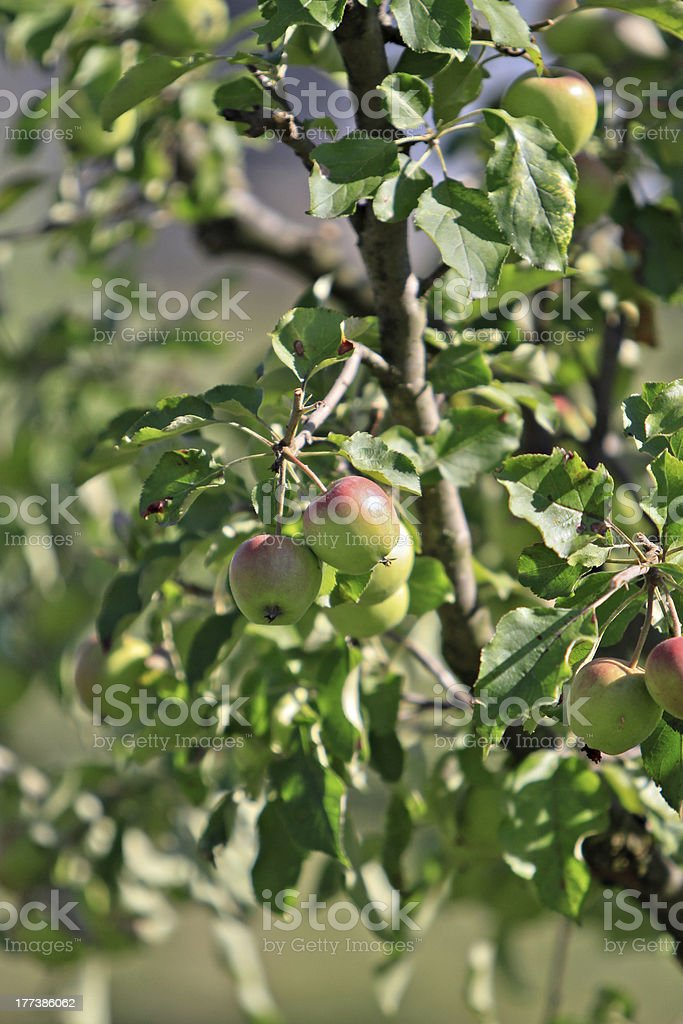red apples on a branch royalty-free stock photo