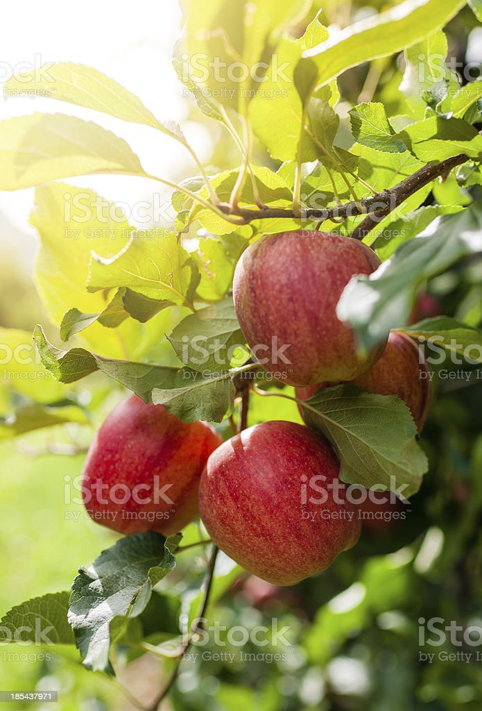 Red apples on a branch stock photo