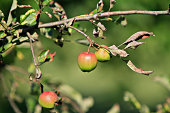 red apples on a branch