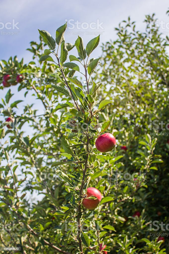 Red Apples on a Branch - Royalty-free 2015 Stock Photo