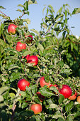 Appletree with red apples on a sky background, Harvest time concept