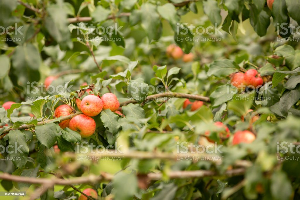 Red apples on a tree in a Herefordshire Orchard stock photo