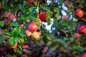 Red apples on a tree in orchard in sunny day.