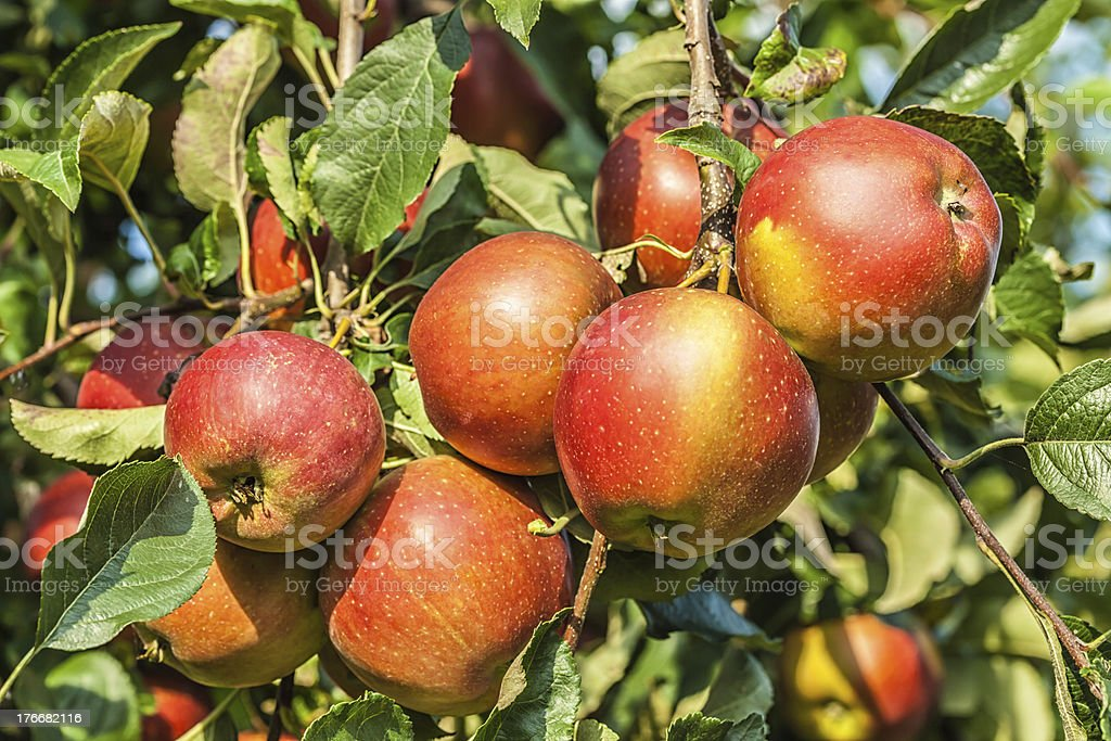 Red Apples on a tree royalty-free stock photo