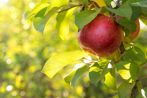 istock Red apples on a tree 492312442