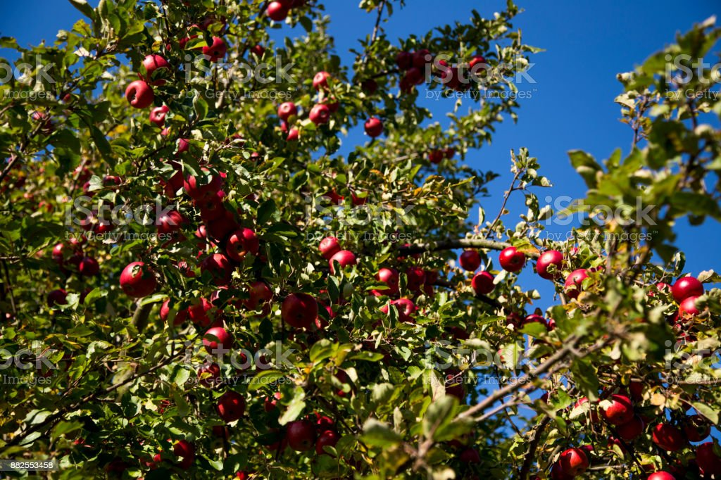 Rote Äpfel an einem Baum – Foto