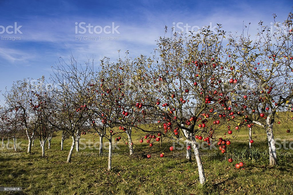 Red apples on apple trees royalty-free stock photo