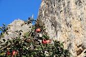 Ripe juicy red apples hangs on a branch of apple tree