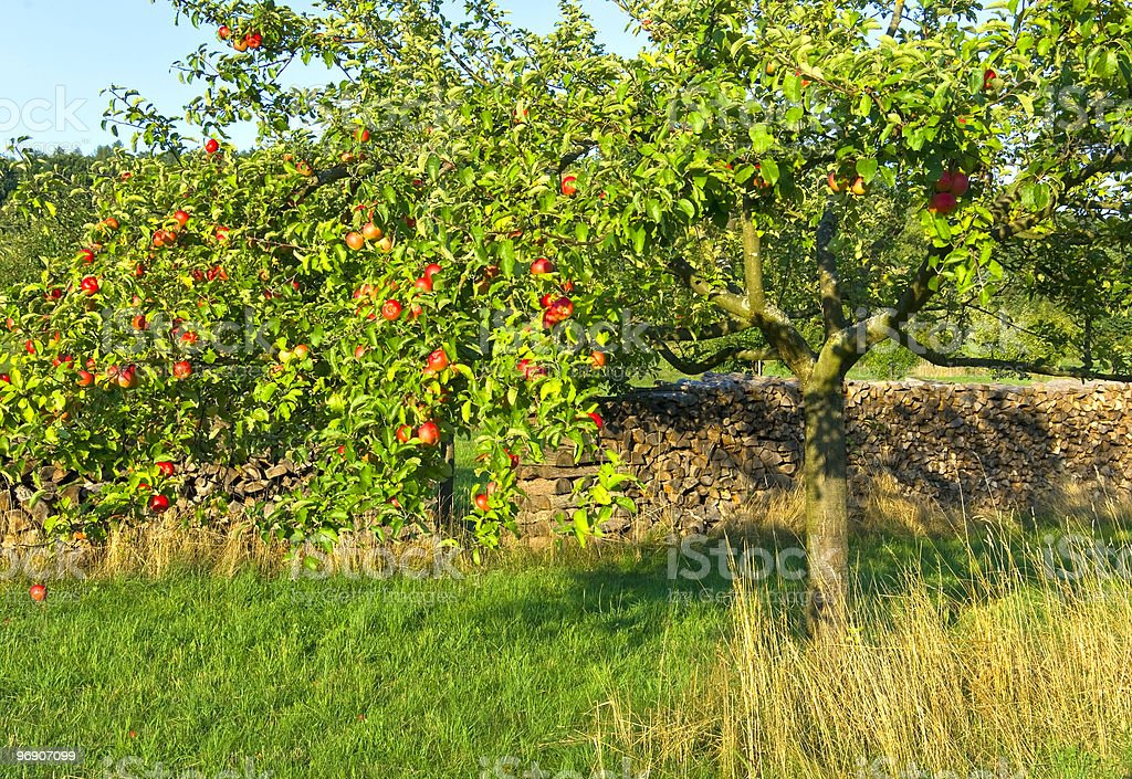 Red apples on tree royalty-free stock photo