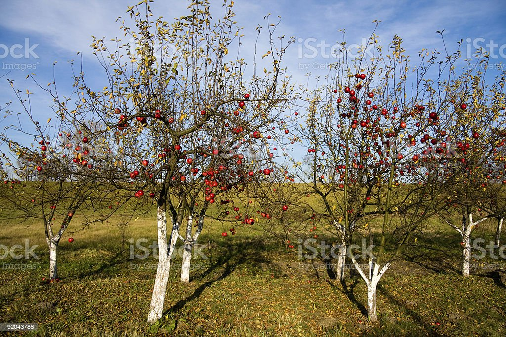 Red apples on trees royalty-free stock photo