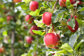 Red Gala apples, hanging in a tree.