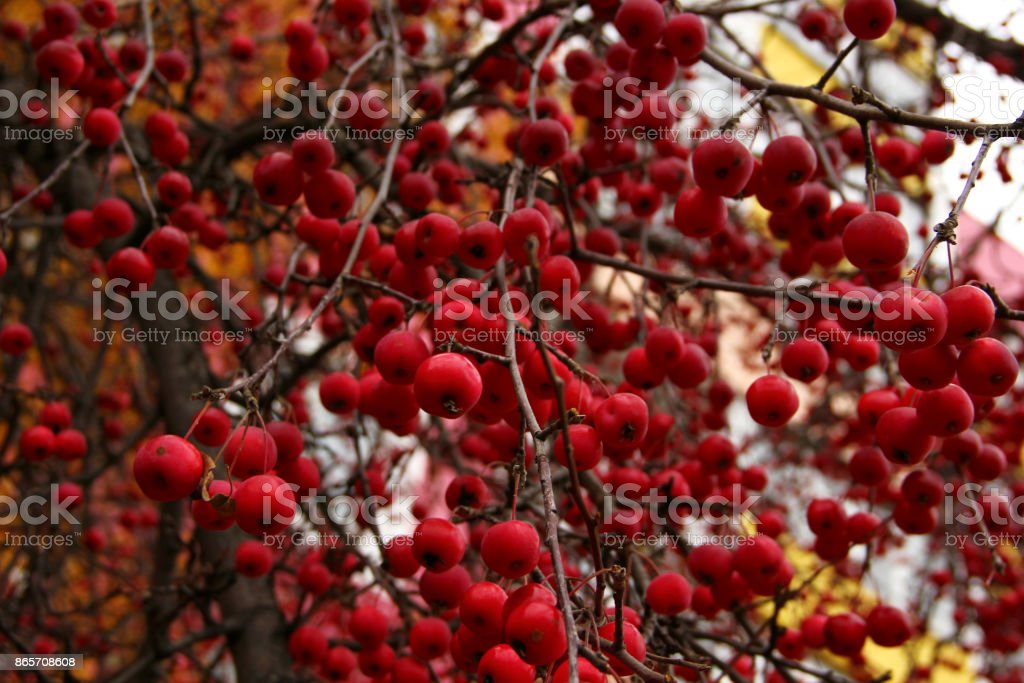 red apples rennet on the tree stock photo
