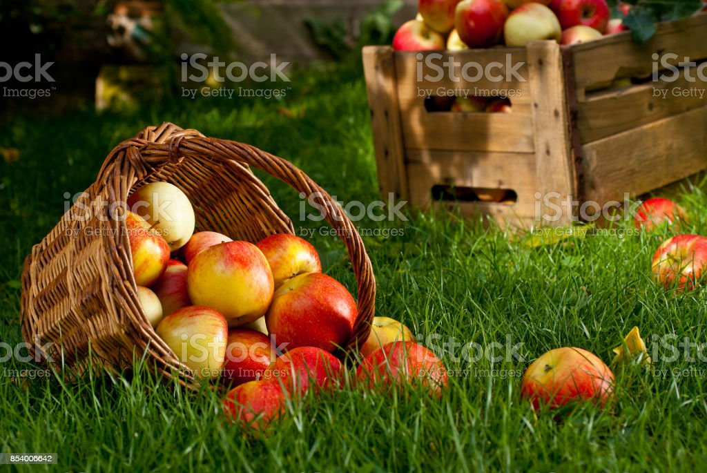 Red Apples with Wicket Basket in the Grass stock photo