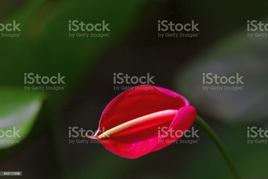 Red Arum Lilly stock photo