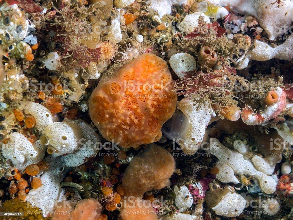 Red Ascidian (Aplidium solidum) royalty-free stock photo