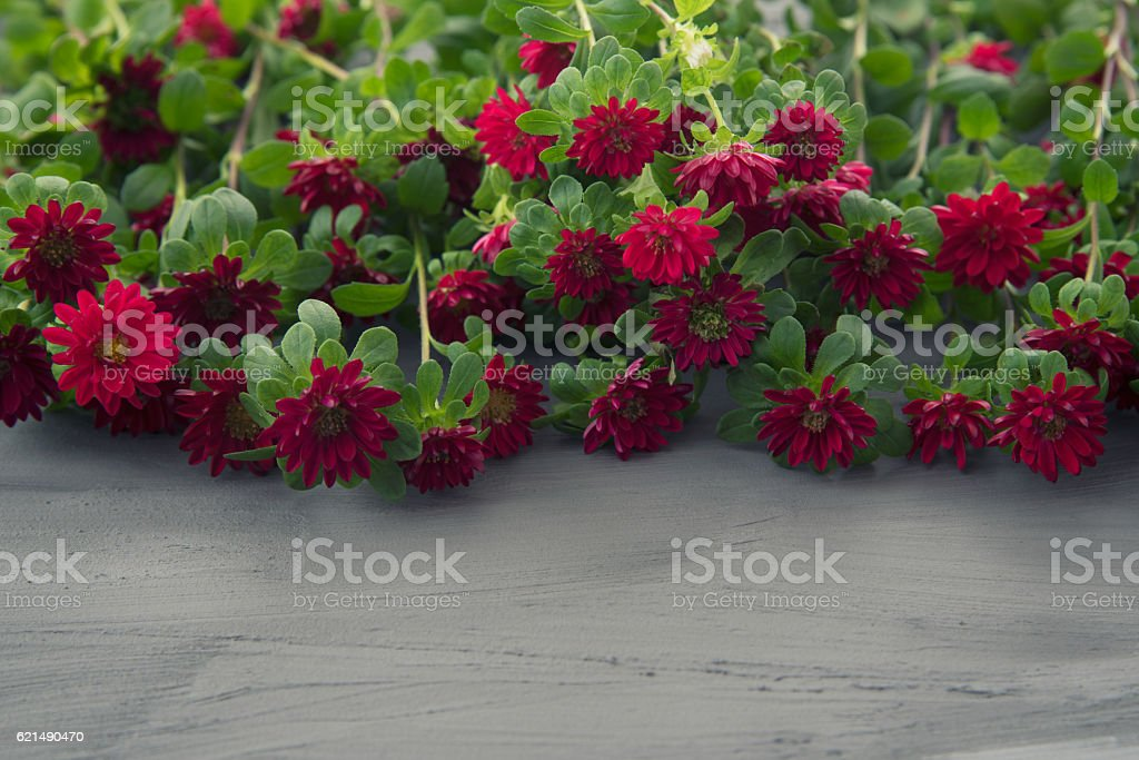 Red Aster flowers photo libre de droits