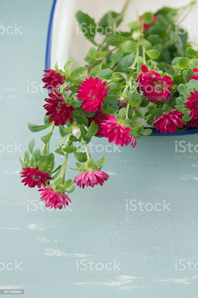 Red Aster flowers foto stock royalty-free