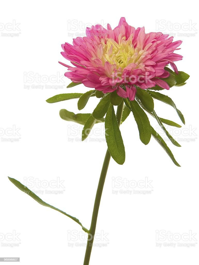 Red aster royalty-free stock photo