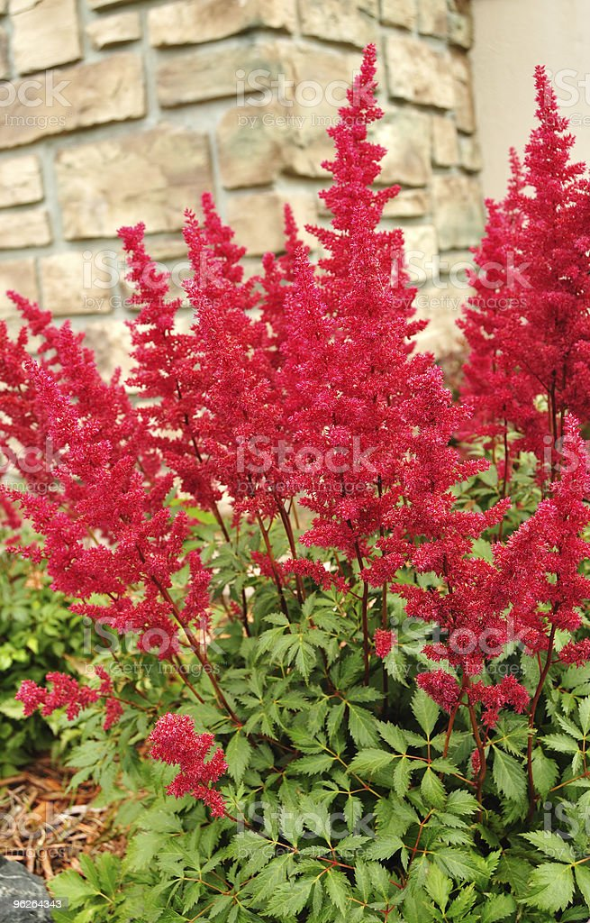 Red Astilbe (False Spirea) stock photo
