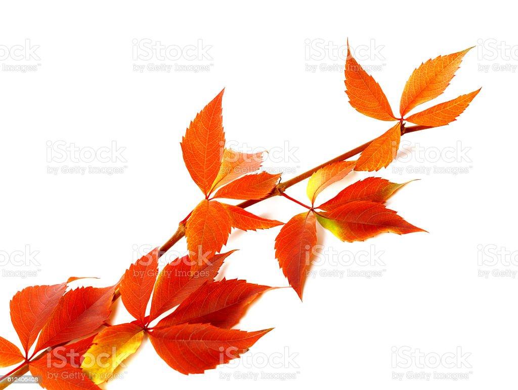 Red autum branch of grapes leaves (Parthenocissus quinquefolia f - Photo