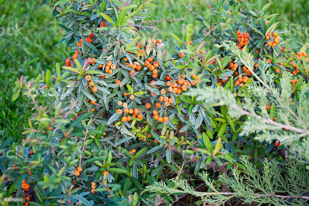 Red autumn berries of Pyracantha - Photo