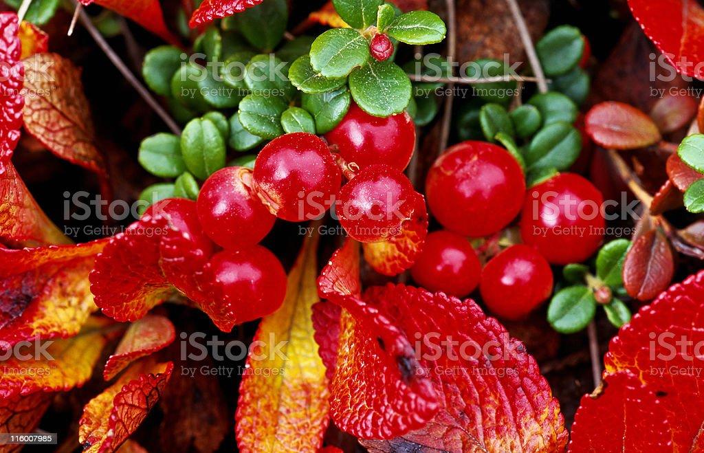 Red autumn berries stock photo